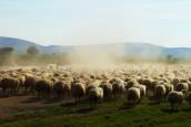 Bioressources en Europe : Nomadéis analyse les potentiels de structuration d'une nouvelle filière laine…